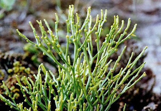Psilophyta
