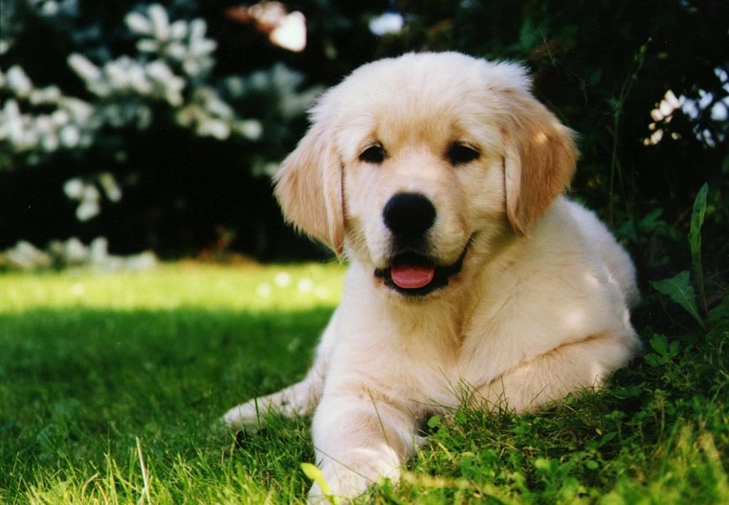 Golden Retriever | Animals Backgrounds