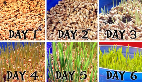 growth progressions of growing wheat berries into wheat grass for easter baskets