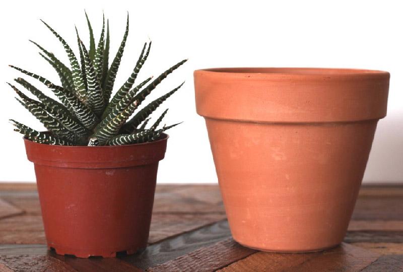 piante grasse: quando rinvasare