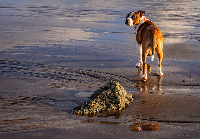 Photo of Ruby on the wet sand at low tide