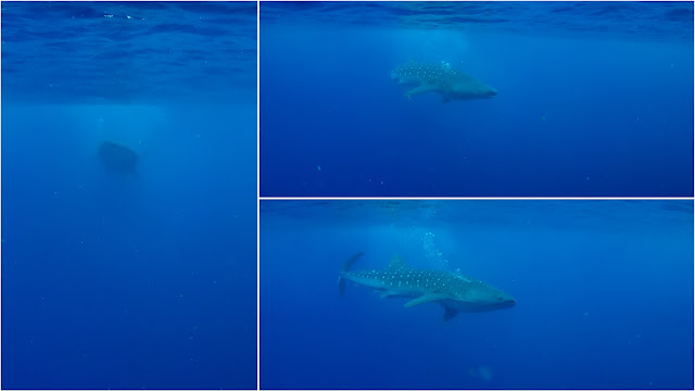 Scuba with whalesharks should last much longer than only a few seconds.