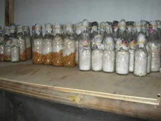 Cara membuat bibit jamur f1 f2 terbaik dengan media jagung dengan hasil panen banyak