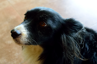 Costa Rica Dog
