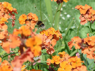 Erysimum or wallflowers