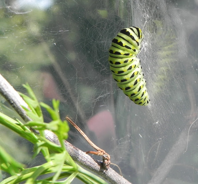 Butterfly Lifecycle  caterpillar hatching feeding