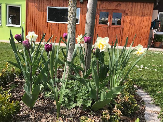 Tulpen und Narzissen unterm Hausbaum (c) by Joachim Wenk