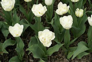 Tulipe double hâtive Mondial - Tulipa Mondial - Tulipe Mondial