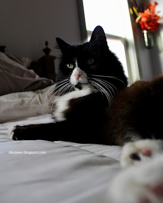 Maggie the cat on the bed