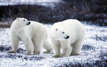 Wallpaper: Polar Bears in Arctic landscape