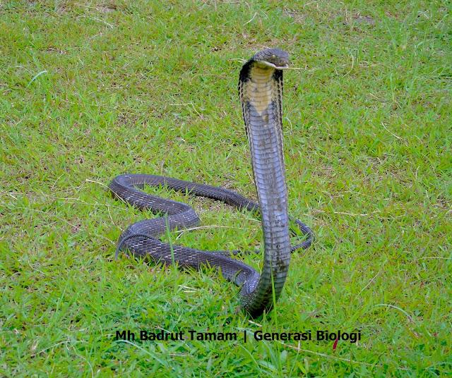 nama latin ular king kobra, nama ilmiah ular king kobra, klasifikasi ular king cobra, ciri ciri ular king kobra, king cobra