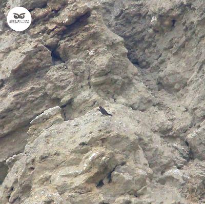 Hembra de roquero solitario (Monticola solitarius) en los cortados cerca de Julibol.