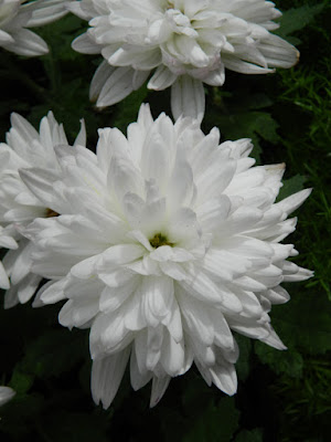 Allan Gardens Conservatory 2015 Chrysanthemum Show white decorative mums by garden muses-not another Toronto gardening blog