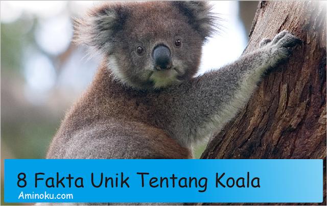 Fakta unik Koala