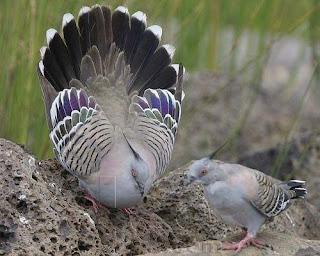 burung perkutut majapahit, perkutut, perkutut majapahit, burung perkutut