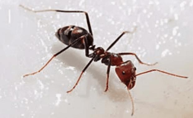 Cara Mengusir Semut Dari Rumah.
