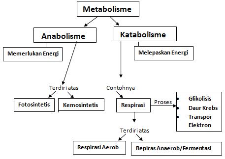 Perbedaan Anabolisme dan Katabolisme, Pengertian Anabolisme, Pengertian Katabolisme