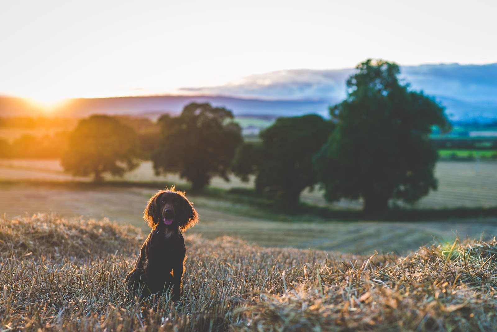 tilly liquidgrainpets liquidgrain liquid grain cocker spaniel sunset gundog