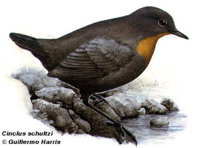 Rufous throated Dipper