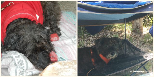 Oz the Terrier at Tomoka State Park in 2014 and on recent camping trip