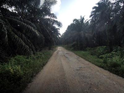 pengalaman membantu bekerja di perkebunan kelapa sawit 7