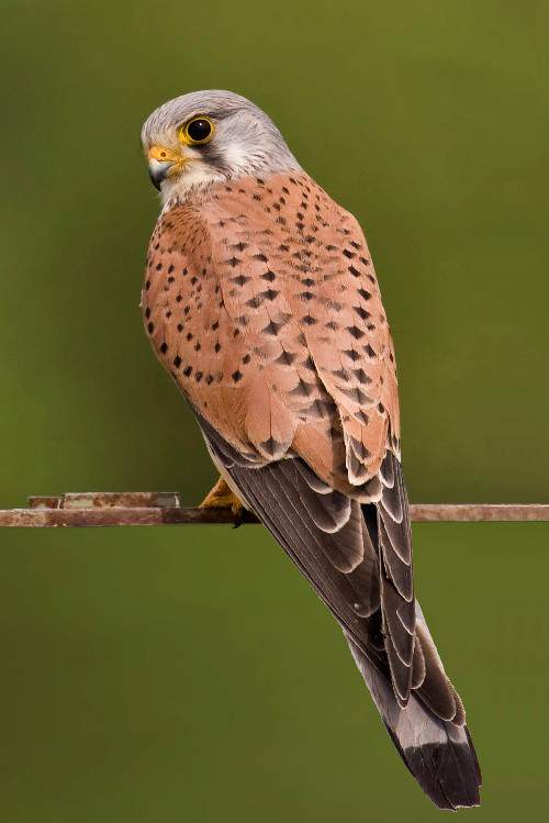 Indian birds - Common kestrel - Falco tinnunculus