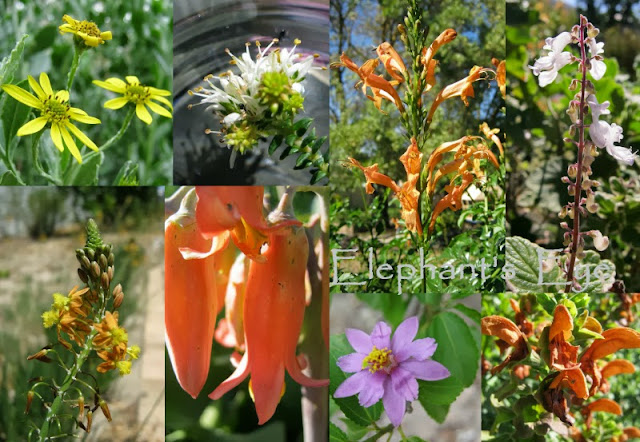 Dozen for Diana the seasonal colour from the flowers Chrysanthemoides monilifera, Agathosma apiculata, Tecoma capensis, Plectranthus madagascariensis Bulbine frutescens, Cotyledon orbiculata, Grewia occidentalis, Salvia africana-lutea
