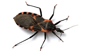 Kissing Bug insect