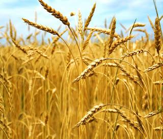Fatwa Mesir soal Zakat Pertanian