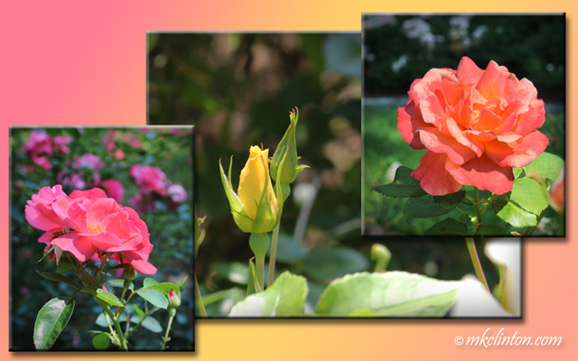 Collage of roses pink and yellow