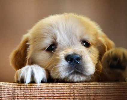 Gambar Anjing Lucu Dan Imut  Ala Model Kini