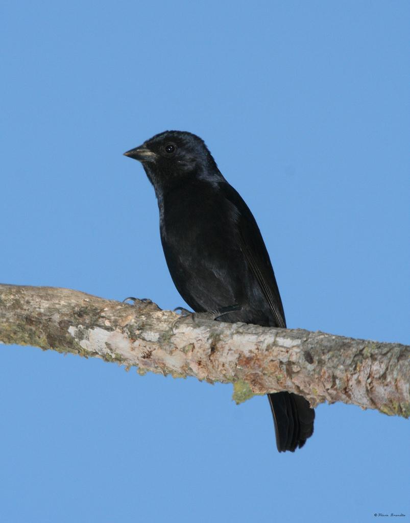 Pássaro Chopim (Molothrus bonariensis)