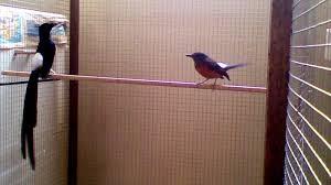 Burung Murai Batu - Toleransi Terhadap Indukan dan Kegiatan Mutlak Agar Burung Murai Batu Cepat Prosduksi - Penangkaran Burung Murai Batu