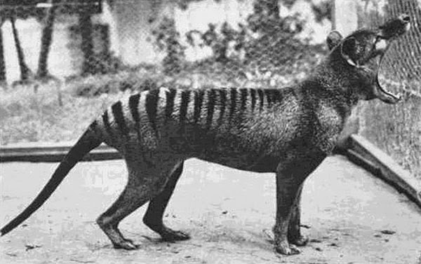 Rarest Historical Photos, That you can Never Forget. - The last photograph of Tasmanian Tiger (Extinct species Now). Photographed taken in 1933