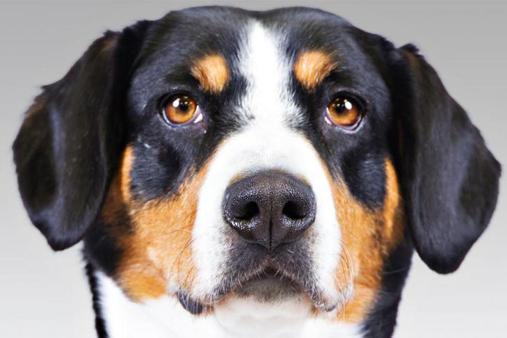 Everything About Your Entlebucher Mountain Dog Luv My Dogs