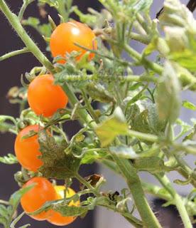 buah tomat emas