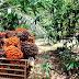 ปลูกไผ่ในสวนปาล์ม ไม่มีโทษ ประโยชน์เยอะ