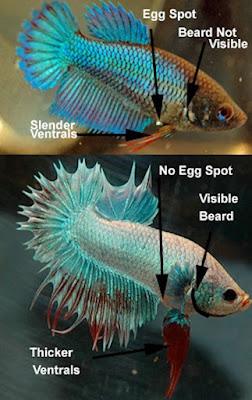 Perbedaan Ikan Cupang Jantan Dan Betina Secara Fisik