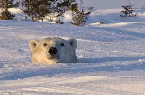 لحظة خروج دب قطبي دفن نفسه 8 أيام وسط الجليد 275204.jpg