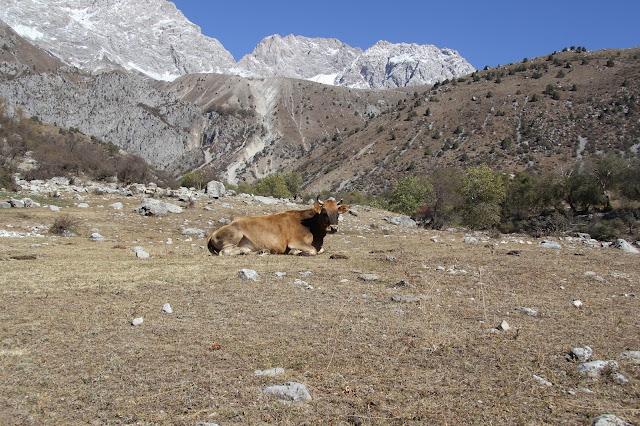 Kirghizistan, Arslanbob, vache, © L. Gigout, 2012