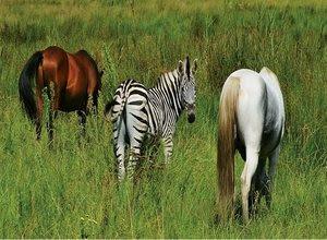 perbedaan-kuda-dan-zebra.jpg