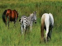 Perbedaan Kuda dan Zebra Selengkapnya