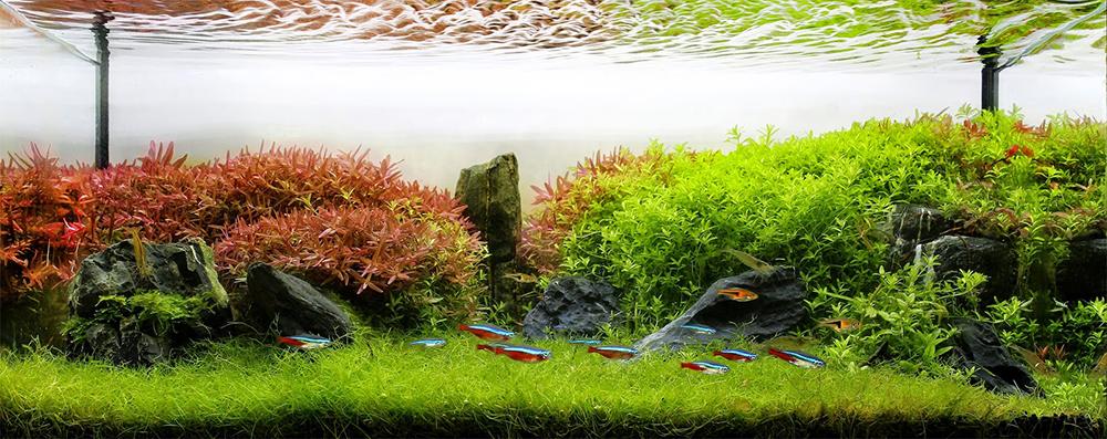 Bể thủy sinh trồng nhiều cây vẩy ốc đỏ ở phần bên trái