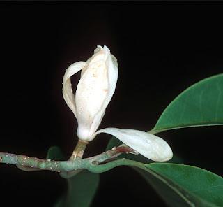 จำปีสิรินธร ต้นจำปีที่สามารถทนน้ำท่วมได้ดี จำปีเฉพาะถิ่นของไทย ไม้มงคลดอกหอมแรง