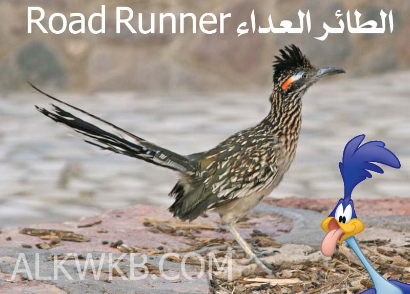 The Real Road Runner