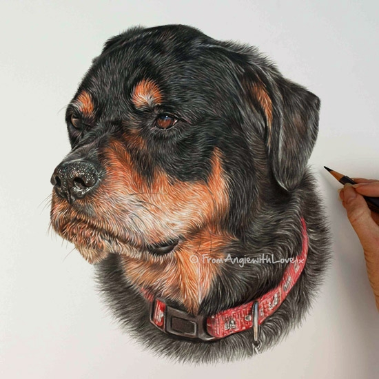 10-Tucson-Rottweiler-Angie-A-Pet-and-Wildlife-Pencil-Drawing-Artist-www-designstack-co