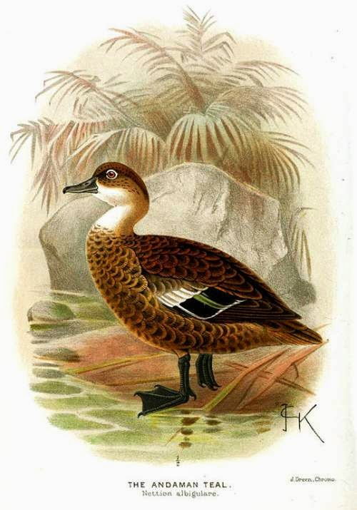 Indian birds - Andaman teal - Anas albogularis