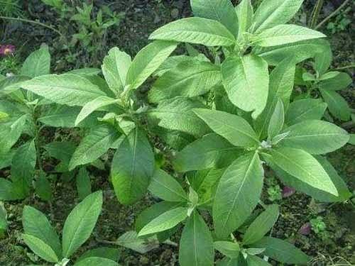 Obat Herbal Penyakit Maag