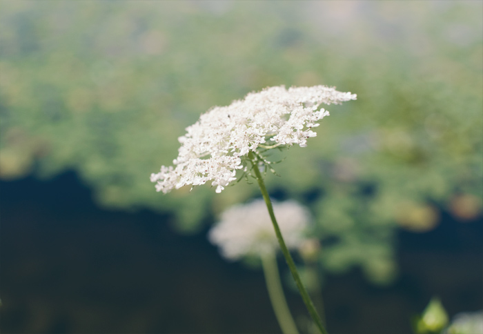 The Flying Clubhouse: Queen Anne's Lace