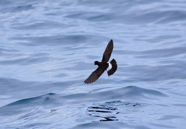 European Storm-petrel - Scilly Isles